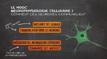 Neurophysiologie cellulaire : Comment les neurones communiquent