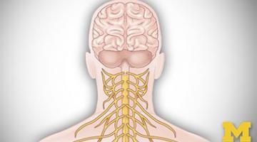Anatomy: Human Neuroanatomy