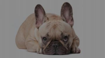 Dog Emotion and Cognition