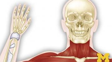 Anatomy: Musculoskeletal and Integumentary Systems