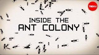 A l'intérieur de la colonie de fourmis